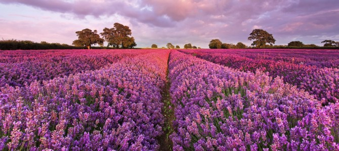 Lavendel als alternatief bij de behandeling van angsstoornissen